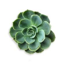 succulent-1024x1024